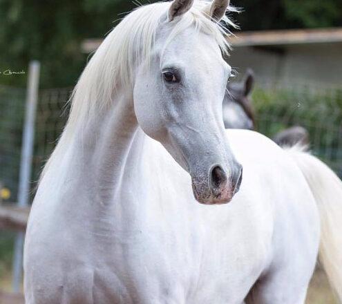 """Tutto pronto per la """"Trapani Arabian Horse Cup"""". Lo show si svolgerà sabato 3 e domenica 4 ottobre"""